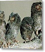 Screech Owl Chicks Metal Print