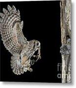Screech Owl Feeding Owlets Metal Print