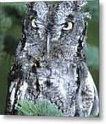Screech Owl Straight On Metal Print
