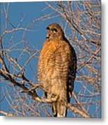 Screeching Red-shouldered Hawk Metal Print