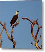 Sea-eagle And The Peewee Metal Print
