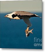 Sea Eagle With Catch Metal Print