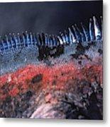 Sea Iguanas On Santiago And Floreanas Metal Print
