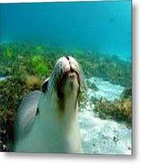 Sea Lion Bubble Blowing Metal Print