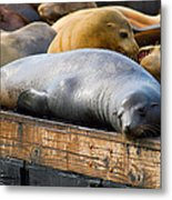 Sea Lions At Pier 39 In San Francisco Metal Print