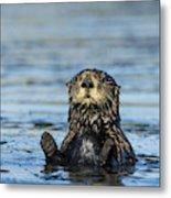 Sea otter (Enhydra lutris) Metal Print