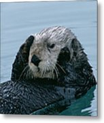 Sea Otter Grooming Metal Print
