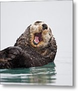 Sea Otter Scratching Head And Yawning Metal Print