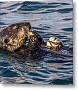 Sea Otter With Clam 2 Metal Print