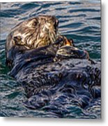Sea Otter With Clam Metal Print