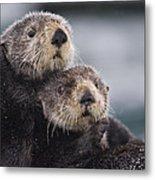 Sea Otters Huddled Together Metal Print