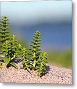 Sea Sandwort Metal Print