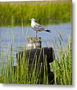 Seagull At Weeks Landing Metal Print by Bill Cannon