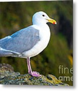 Seagull Heceta Head - Oregon Metal Print