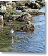 Seagull In The Water Metal Print