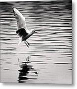 Seagull Landing On Lake Metal Print