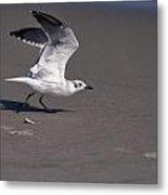 Seagull Preparing To Fly Metal Print