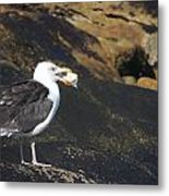 Seagull Snacking  Metal Print