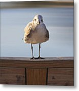 Seagull With An Attitude  Metal Print by Mike McGlothlen