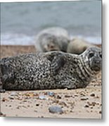 Seal Pup On Beach Metal Print