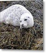 Seal Resting In Dunvegan Loch Metal Print