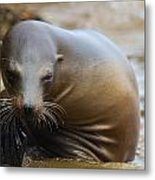 Sealion Mugs For The Camera Metal Print