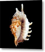 Seashell Lambis Digitata Metal Print