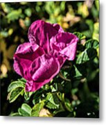 Seasons Last Rose Metal Print