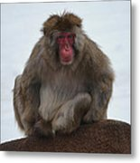 Seated Macaque Snow Monkey Metal Print