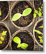 Seedlings Growing In Peat Moss Pots Metal Print