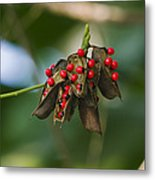 Seeds Of A Tropical Plant India Metal Print