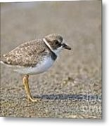 Semi-palmated Plover Pictures 34 Metal Print