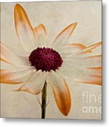 Senetti Pericallis Orange Tip Metal Print