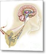 Serotonin Released In The Brain Travels Metal Print