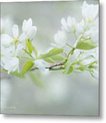 Serviceberry Blossoms Metal Print by Beverly Cazzell