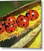 Seven-spot Ladybirds On A Leaf Metal Print