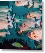 Shadowfin Soldierfish Metal Print
