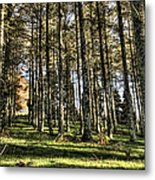Shadows Of The Larch Forest Sunset No2 Metal Print