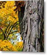 Shagbark Hickory Tree Metal Print