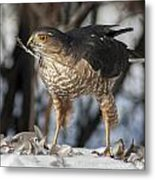 Sharp-shinned Hawk And Feather Metal Print