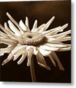 Shasta Daisy Flower Sepia Metal Print