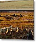 Sheep At Sundown  Metal Print