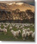 Sheep Flock At Dawn Arrowtown Otago New Metal Print