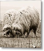 Sheep Grazing Metal Print