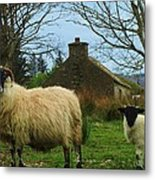 Sheep Of Donegal Ireland Metal Print