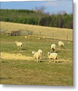 Sheep Out And About Metal Print