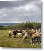 Sheep Pasturing Metal Print