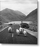 sheep walking away from camera down the middle of the road Doulough mayo ireland Metal Print