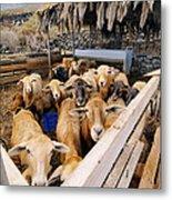 Sheeps Enclosure Metal Print