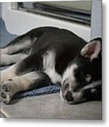 Shelby Our Puppy Metal Print by Lawrence Christopher